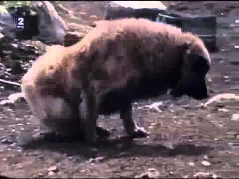 Sarplaninac Bergers Yougoslave originels de la montagne Sar, dans les années 70