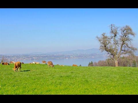 Original Atmovie UHD 4K - Kuh, Kalb und Stier an der Frühlingssonne