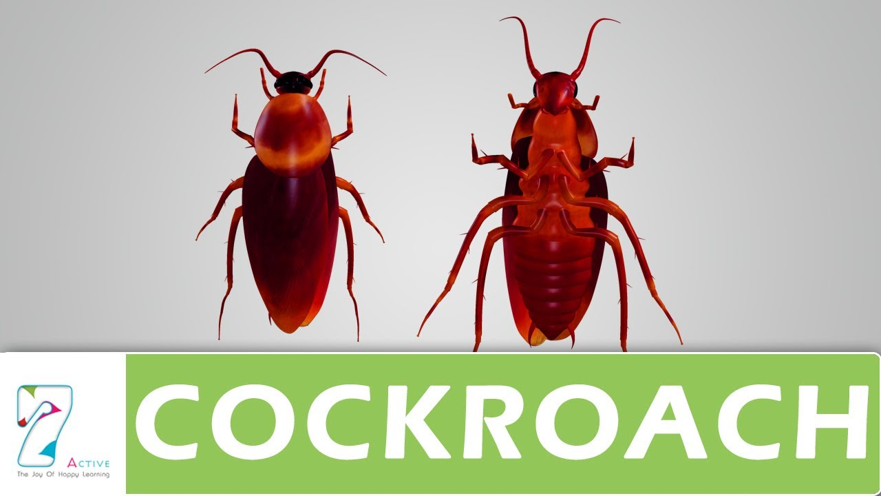 cockroach diagram [ 1280 x 720 Pixel ]