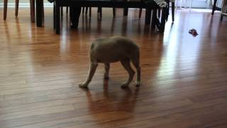 3 Month Old German Shepherd Lab Mix Puppy Chases Her Tail