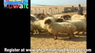 GHANA AGENTS TRADE MEN FOR DESERT FARM WORK IN KUWAIT