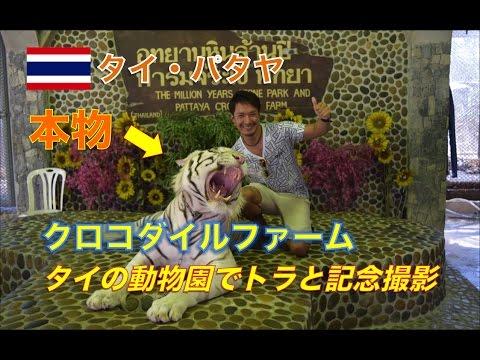 【タイ旅行・パタヤ】遂に虎と共演!そして、ワニ釣り!? รีวิวสวนสัตว์ที่พัทยา เสือตัวนี้น่ากลัวเว้ย