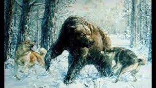 Охота на медведя в западной сибири с лайками.
