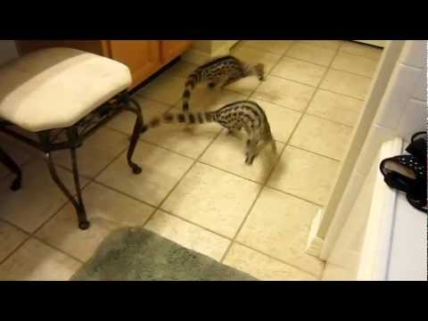 Pet Spotted Genets Khira and Casper Playing in the House