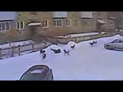5 бездомных псов грызут лежащего ребенка. Real Video