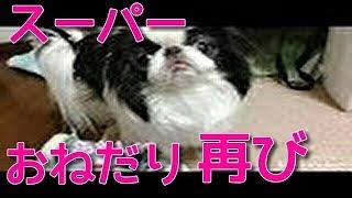 狆チンのそらこ ウルトラスーパーおねだり再び  日本狆Japanese Chin