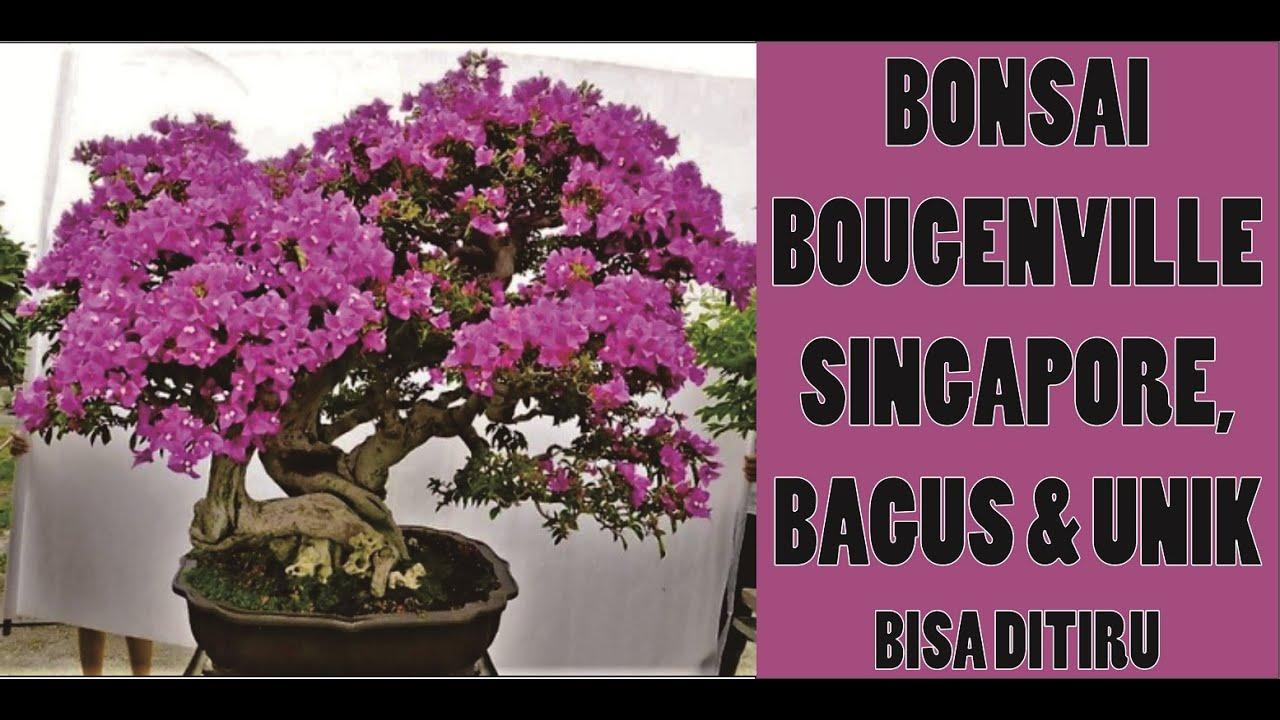Kumpulan Bonsai Bougenville Singapore Bagus Unik Bisa Ditiru Youtube