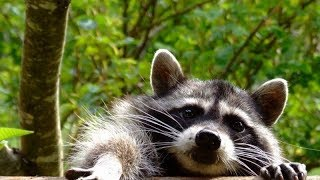 Awesome Raccoon Compilation