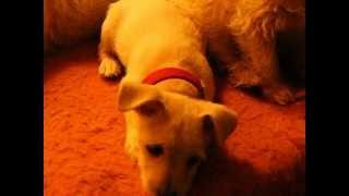 5 Chihuahua Mix Puppies - Born July 11, 2012