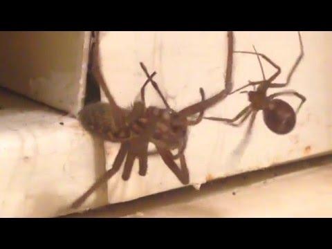 WOLF-SPIDER vs BLACK WIDOW