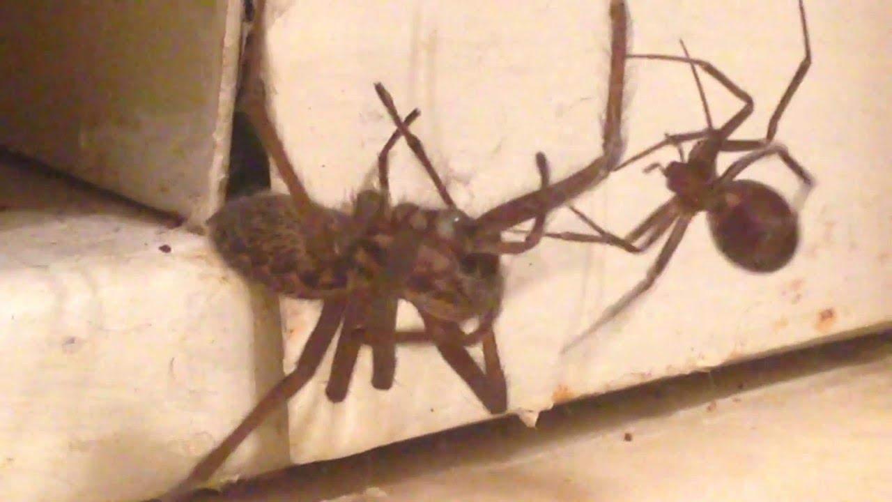 Wolf Spider Vs Black Widow Youtube