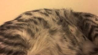 Беременная кошка - Котята двигаются в животе