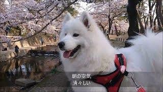 夙川は日本の桜百選。早朝と午後お花見を楽しんだよ°˖✧◝(⁰▿⁰)◜✧˖° 阪急...
