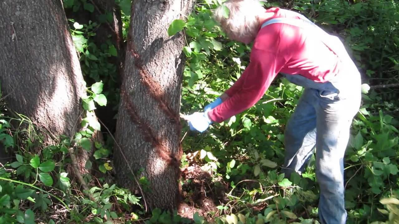 removing poison ivy vine from a tree part iii youtube