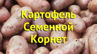 Картофель семенной. Краткий обзор, описание характеристик, где купить картофель Корнет