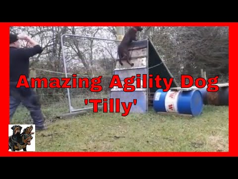 Protection Security Dog Training - Dutch Herder mix agility cerberusk9uk
