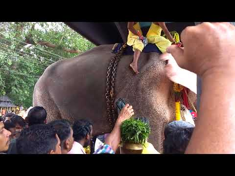 Thechikottukavu Ramachandran | Elephant Head Lifting | Manarcad temple | Elephant Attack