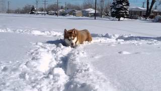Siberian Husky After Snow Blizzard In Chicago