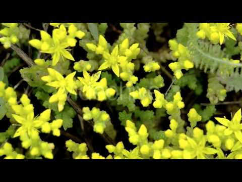 Stock Footage - Aerial Look of the Yellow Flowers of Stonecrops | VideoHive