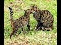 House Cats VS Stuffed Wild Cat (HD) [Funny Pets]
