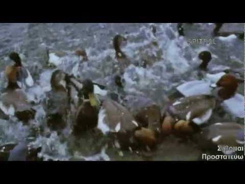 Πάπια Duck