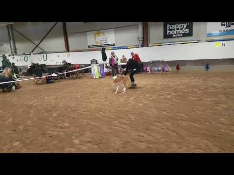 Ibizan hound / Podenco Ibicenco  puppys first dogshow 2017.12.30