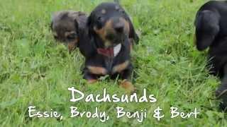 Puppies For Sale - Essie / Benji / Bert / Brody - Dachshunds