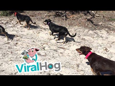 Run Dogs Run To The Watering Hole || ViralHog