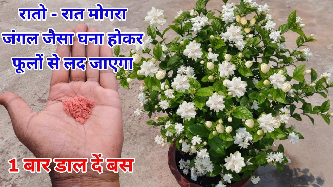 Download मोगरा रातो रात जंगल जैसा घना होकर फूलों से लद जायेगा / Mogra Plant Care / Get more flowers on mogra