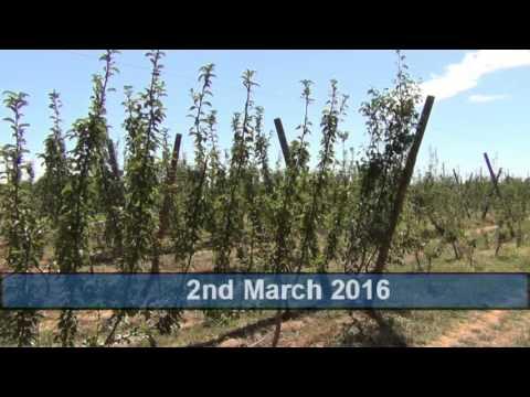Cordon tree training systems on Open Tatura trellis