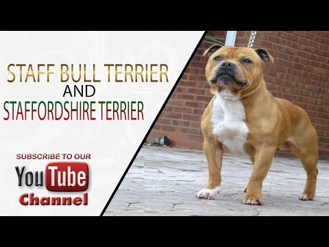 Staffordshire Bull Terrier and American Staffordshire Terrier