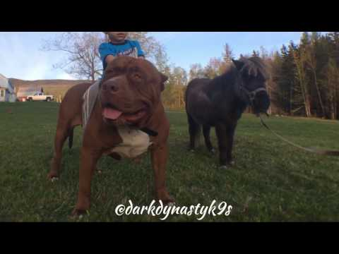 The Biggest & Smartest prehistoric Pit Bulls on Earth HULK & Family