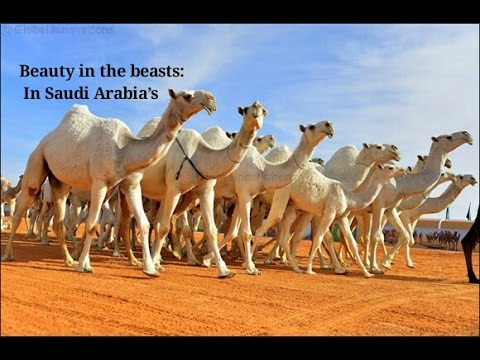 Beauty in the beasts: In Saudi Arabia's 'Miss Camel' pageant, dromedaries compete for $31 million
