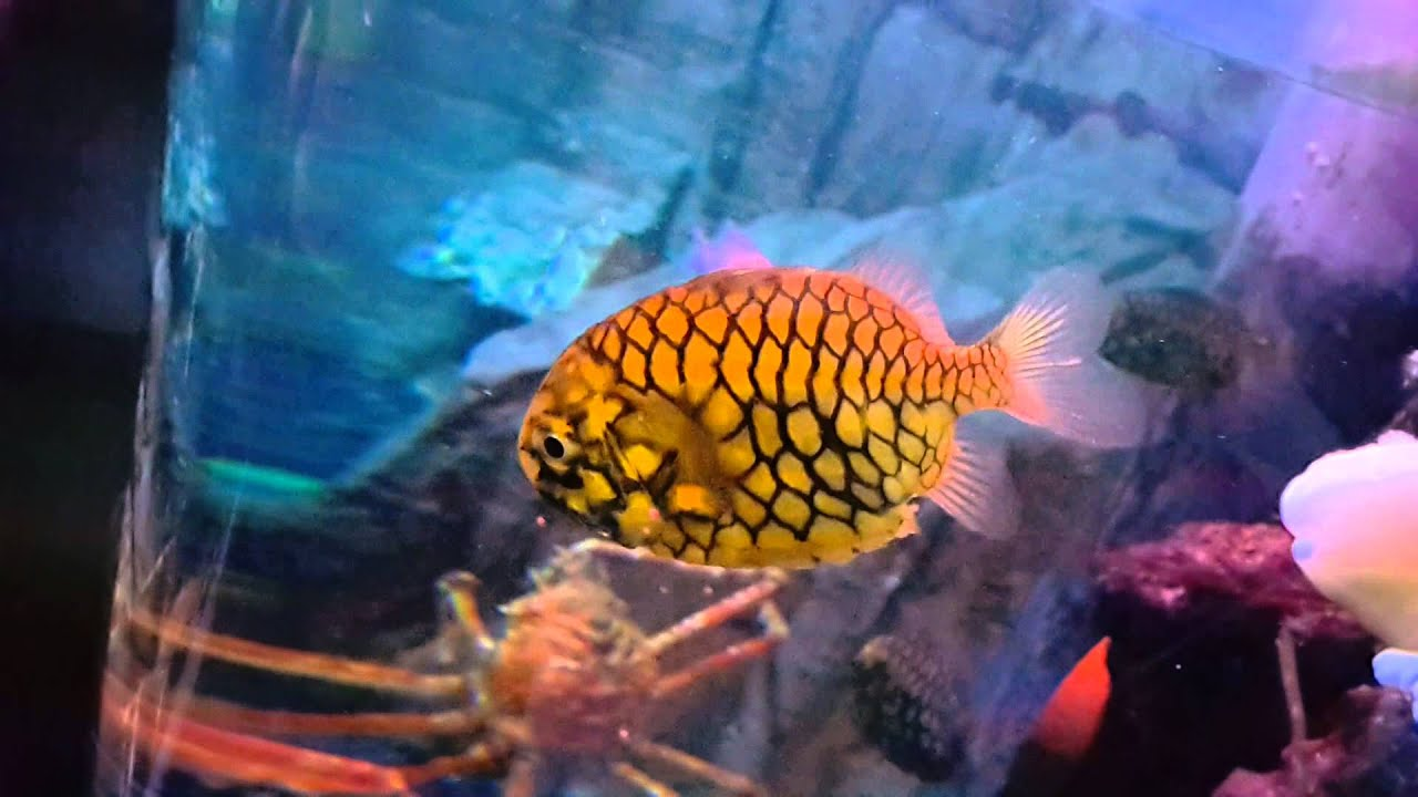 Freshwater Aquarium Fish In Dubai - Nautilus pineapple fish at dubai underwater zoo 08 10 2015