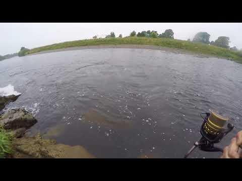 Border Esk Salmon On A Rising River.