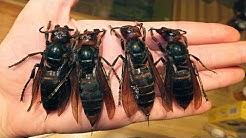 5 Maailman vaarallisinta hyönteistä!