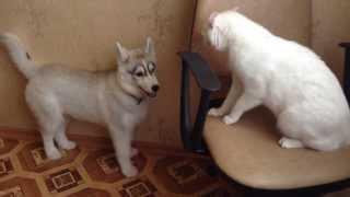 Хаски и кот!