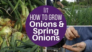 Grow onions and spring onions from seed, for large harvests of high quality