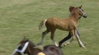 Cobiau Cymreig - Pen Ebolion | Welsh Cobs - Foal Championship