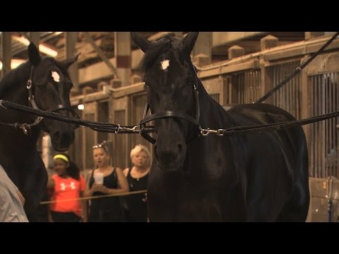 Horses - Clydesdales and Percherons | Iowa State Fair 2015