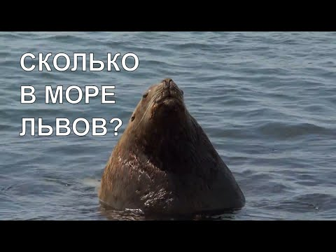 СКОЛЬКО ЛЬВОВ В МОРЕ?  HOW MANY LIONS ARE IN THE SEA?