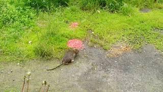 Для чего Нужно кормить крыс в одном месте! Как правильно пррикормить крыс! Травление крыс на улице!