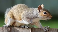 How to Get Rid of Squirrels in the Attic - Critter Control