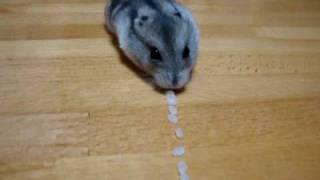 まるで掃除機! どんどんお米を吸いこんでいくハムスターがすごい