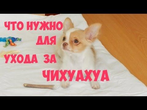 Чихуахуа мини, щенки (фото, цена, видео), купить чихуахуа