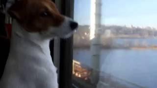 джек рассел терьер проня смотрит в окно