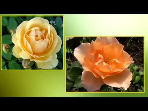 Желтая роза сорта Томас из ОБИ