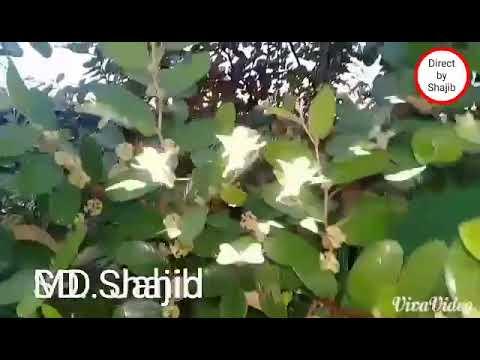 Ami more gele jani tumi kadbe na,,,, Song  by Shajib hossain