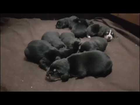 Otterhound Pups 6 dgn oud