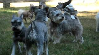Miniature Schnauzer Howling Party